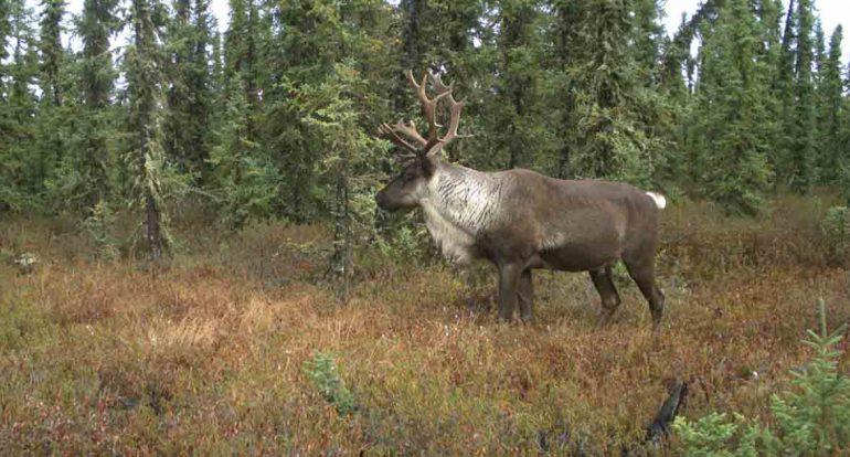 Boreal-Caribou-Habitat-Restoration-on-the-Parker-Range-.jpg